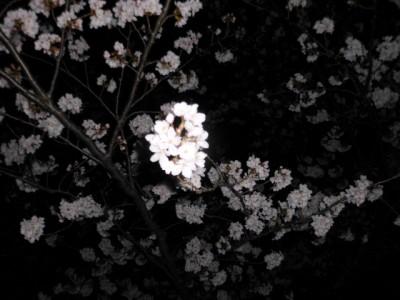 夜桜 005.jpg