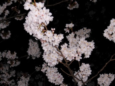 夜桜 007.jpg