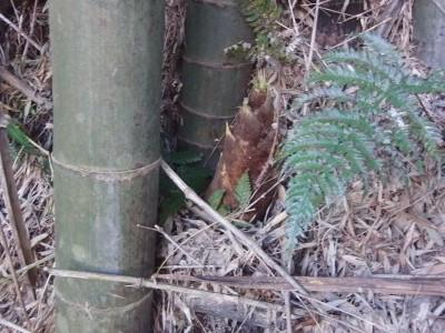 竹の子 002.jpg